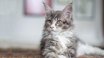 缅因猫性格是怎么样的