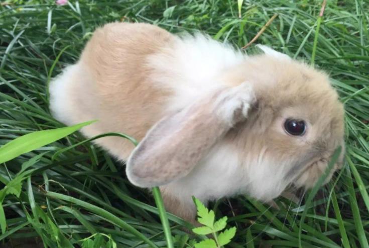如何训练垂耳兔上厕所?