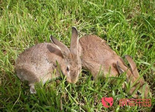 比利时兔该怎么养?