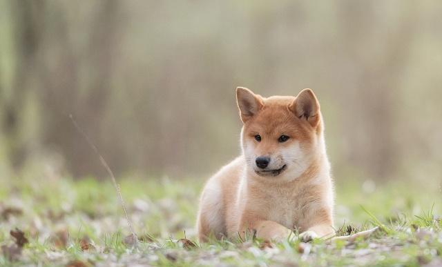 怎样训练柴犬大小便?柴犬训练方式全集