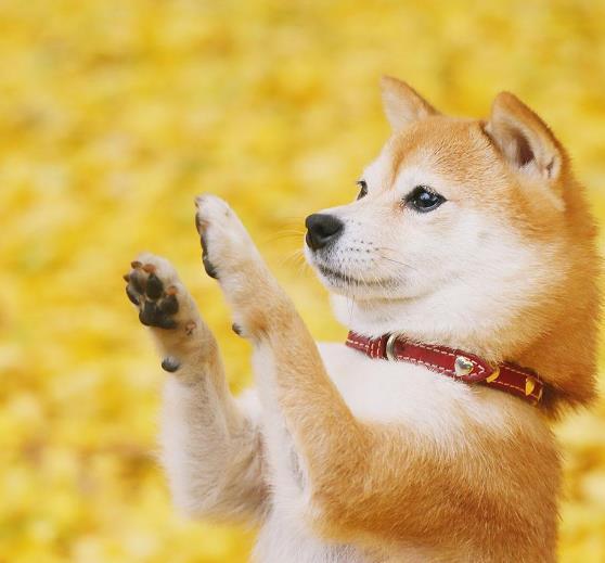 柴犬怎么养?柴犬售价多少钱一只?