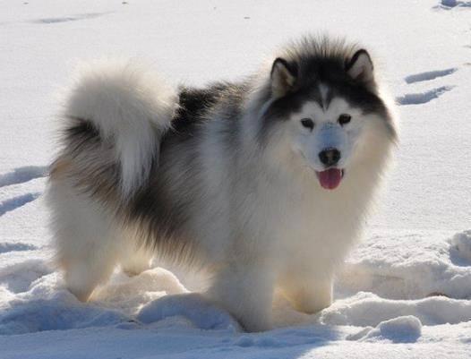 阿拉斯加犬喜欢吃什么?吃货不挑食