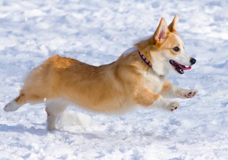 如何买到纯种的柯基犬?