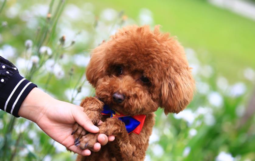泰迪犬如何区别真假?