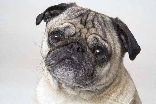八哥犬好养吗?来了解下巴哥犬的优缺点