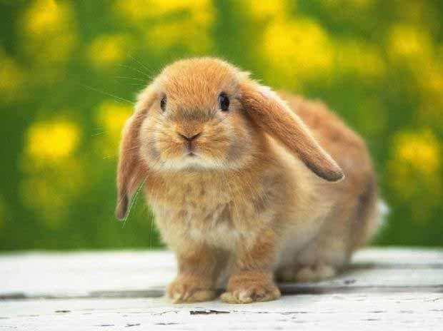 垂耳兔好养么?垂耳兔多少钱一只?