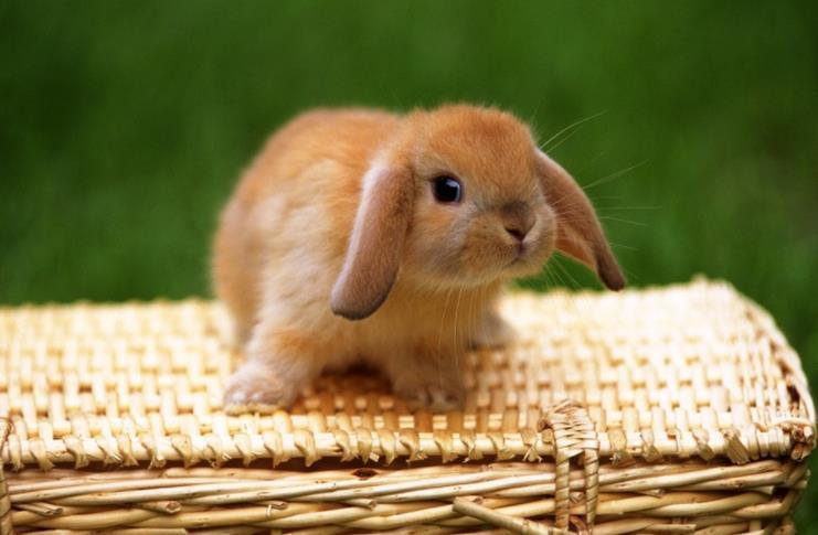 垂耳兔怕热吗?垂耳兔防中暑方法