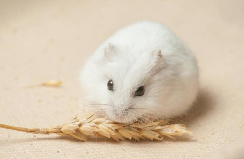 仓鼠不吃食绝食怎么办?