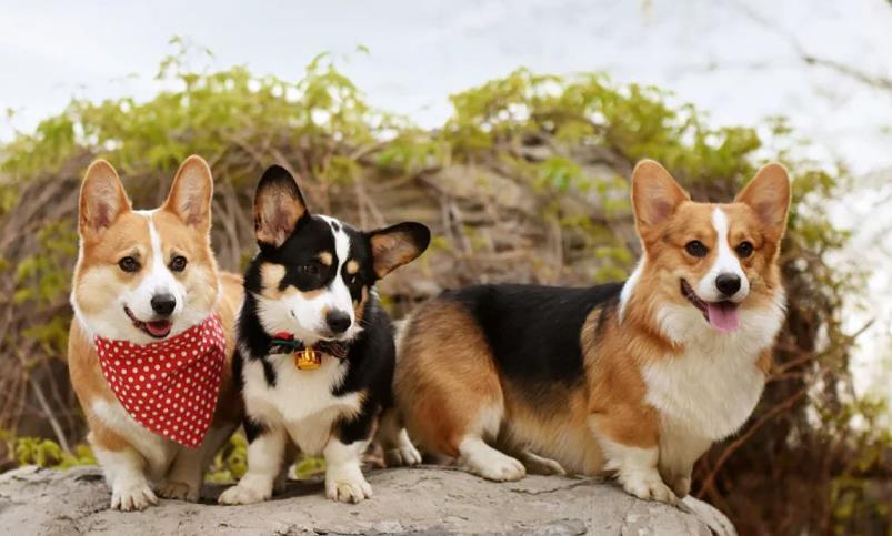 两个月大柯基犬需要注意哪些问题?柯基犬饲养心得!