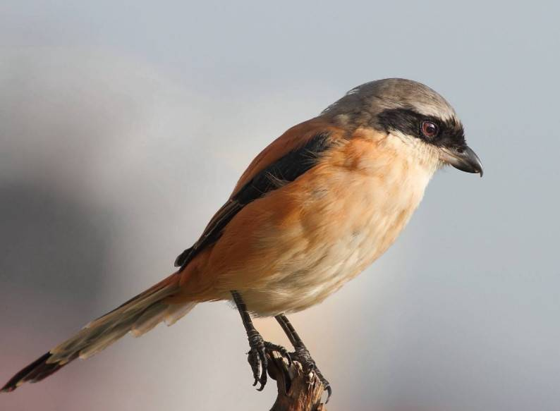 伯劳、画眉、黄鹂、相思鸟这些宠物鸟中,谁的叫声最好听