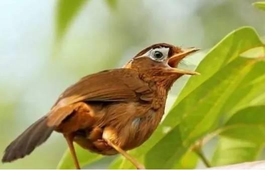 掌握这些技巧,只听画眉鸟的叫声就能辨雄雌,养鸟的你知道吗?