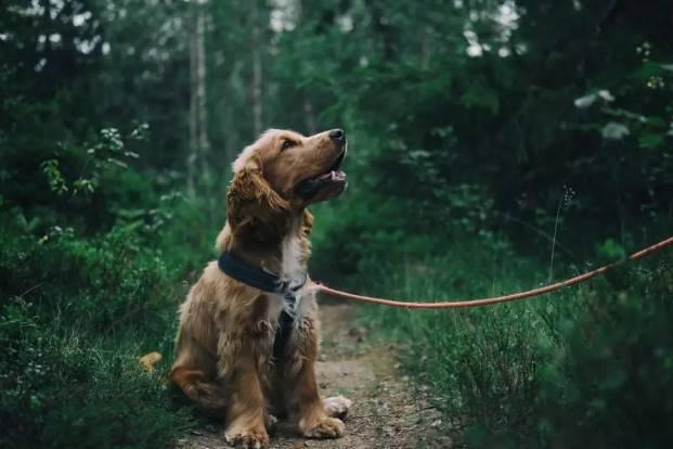 小狗狗身上有蜱虫怎么办