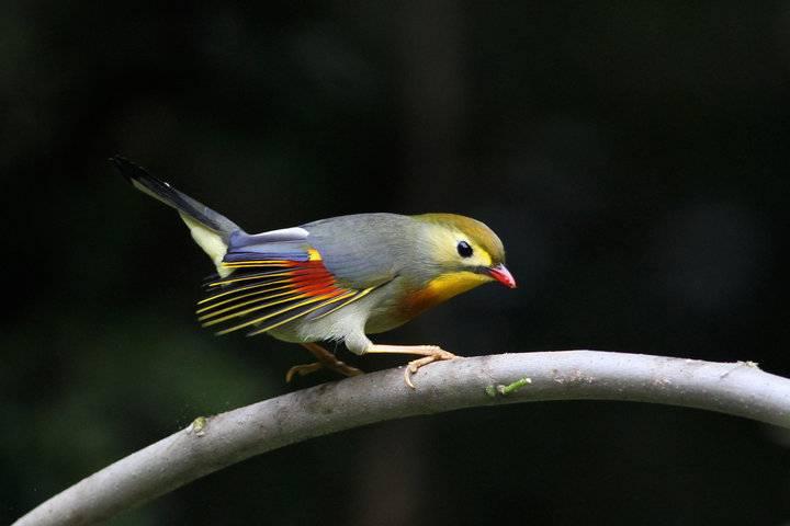 相思鸟、动作活泼