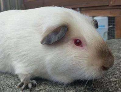 荷兰猪囊肿,荷兰猪囊肿怎么处理