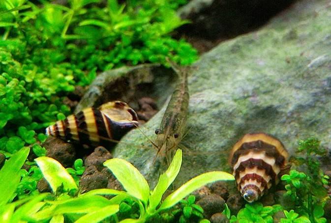 鱼缸里出现小螺怎么办,小螺天敌巧克力娃娃来帮你
