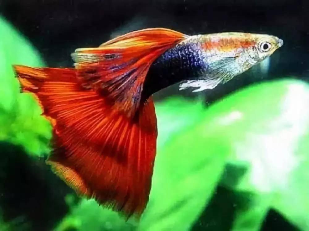 孔雀鱼怎么分公母?孔雀鱼公鱼和母鱼的差异
