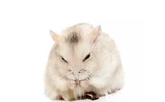 如何处理仓鼠的肠胃问题