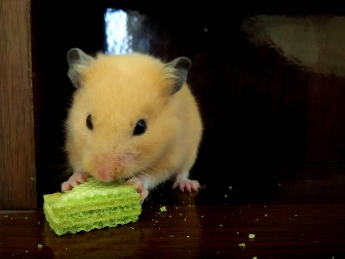 金丝熊宝,你能不能吃得斯文点呢?你看,饼干屑都撒一桌了