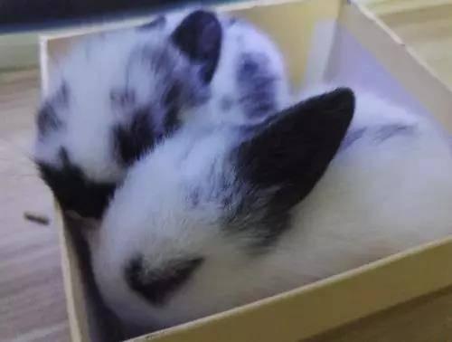 兔子为什么一星期就死了(星期兔)