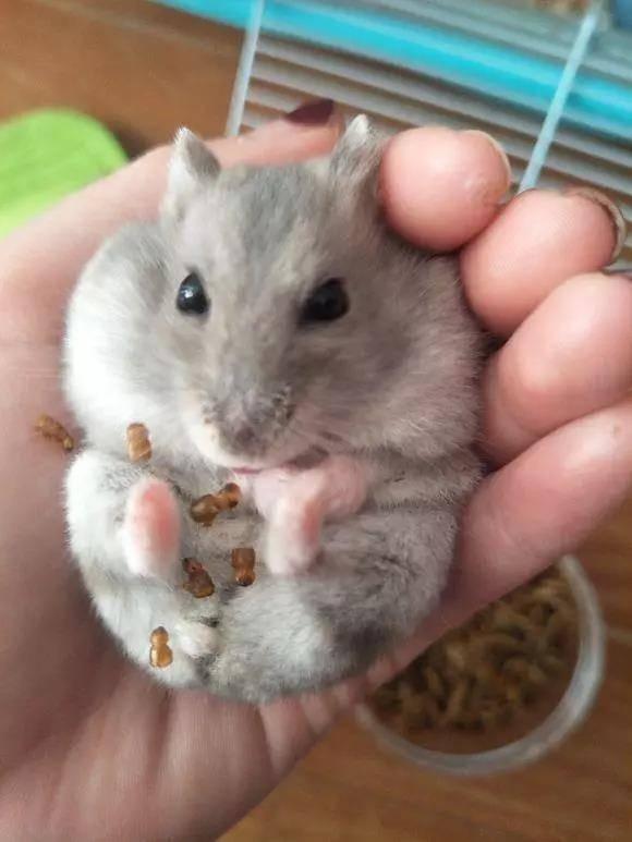 如此挑食的仓鼠:面包虫头我就不吃,我就是这么精致