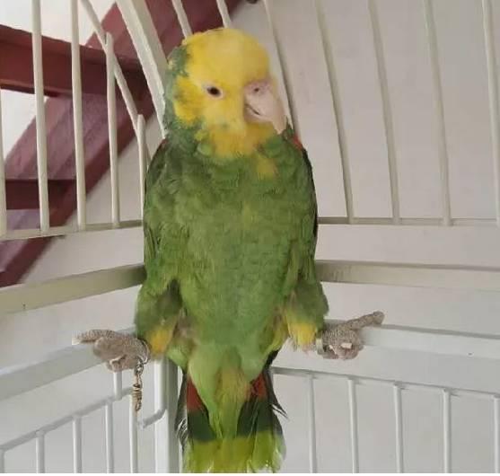 双黄头亚马逊鹦鹉(大黄帽)