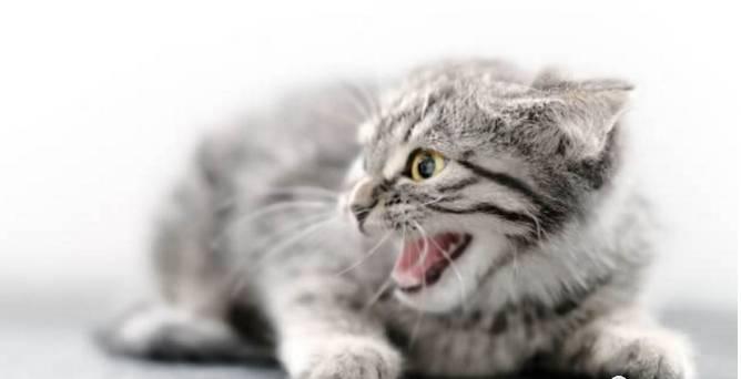 猫咪生气时的表现