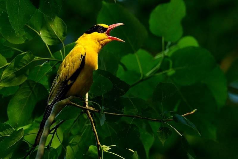 黄鹂鸟品种分类