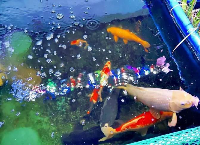 锦鲤怎么养?一入鲤坑深似海此生不悔梦归处,养锦鲤鱼经验分享