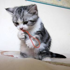 美国短毛猫的图片