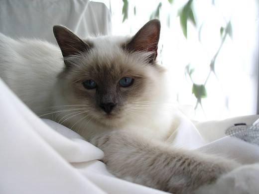 伯曼猫之日常护理