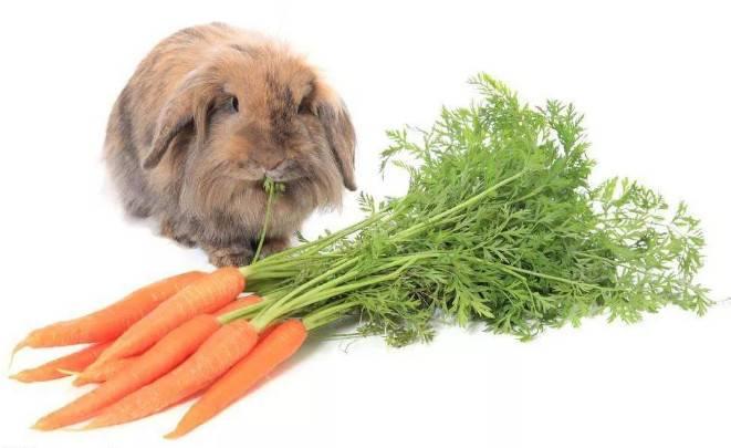 兔子能吃胡萝卜吗