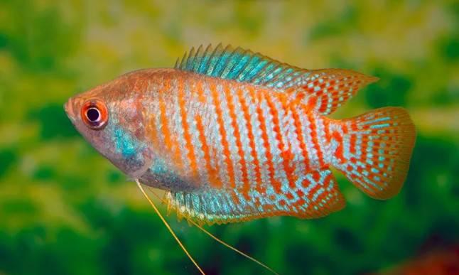 水中色彩恶魔 ,电光丽丽鱼