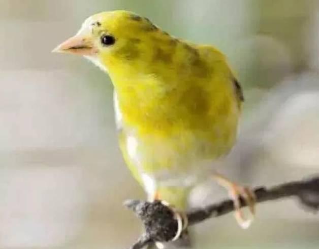 这样的极品黄雀你见过吗?