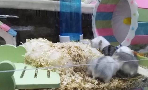 仓鼠怎么养?养15只仓鼠是什么体验?