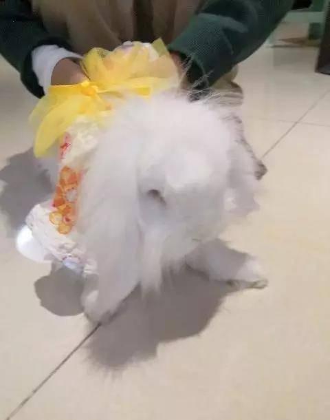 一岁半的海棠兔