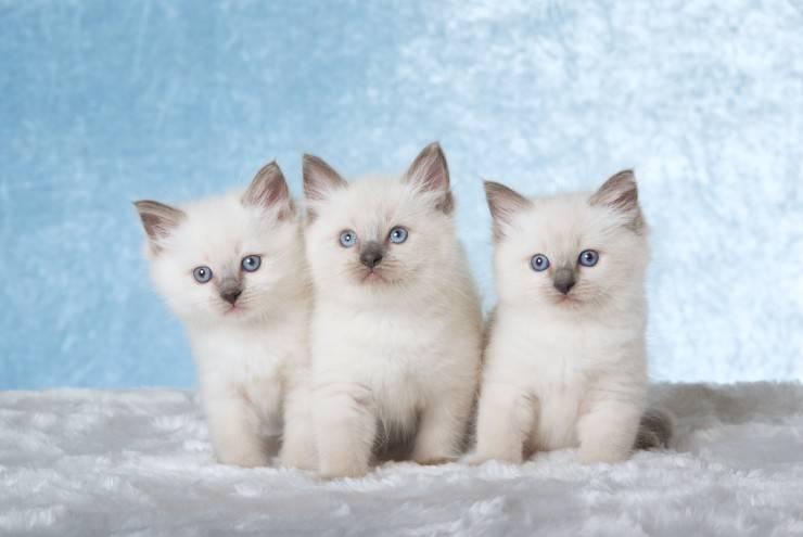 超级喜欢布偶猫宝宝
