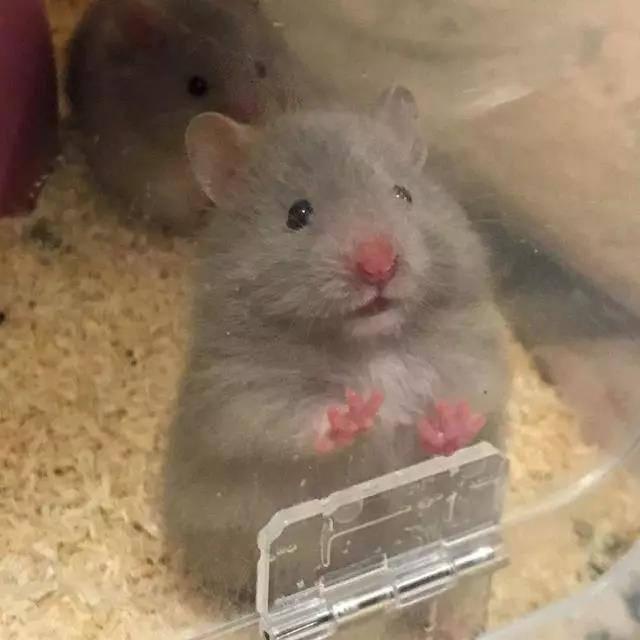 拍照时人家的仓鼠摆好pose等着,你的仓鼠犹如多动症患者~