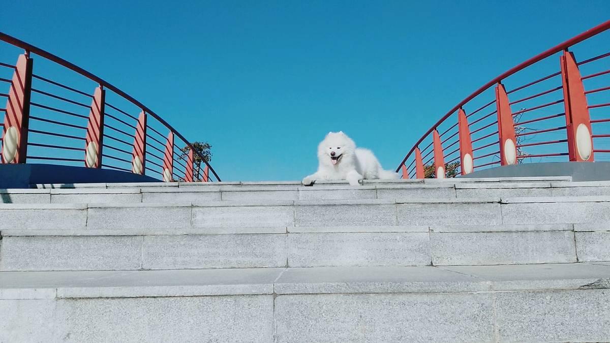 (萨摩耶)主要是赞美蓝天至于狗你们喜欢就好