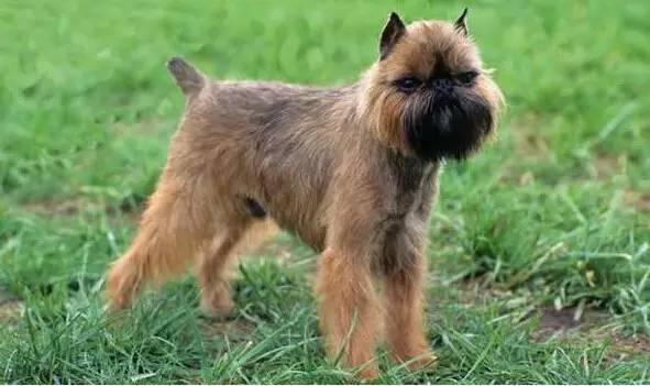 布鲁塞尔格里芬犬多少钱