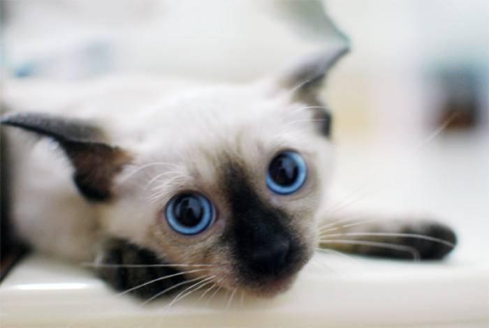 暹罗猫性格怎么样
