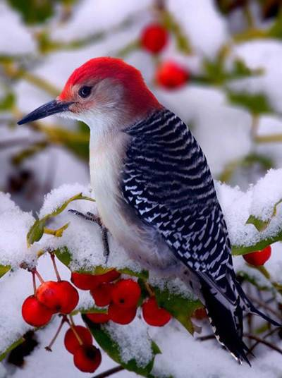 红头啄木鸟