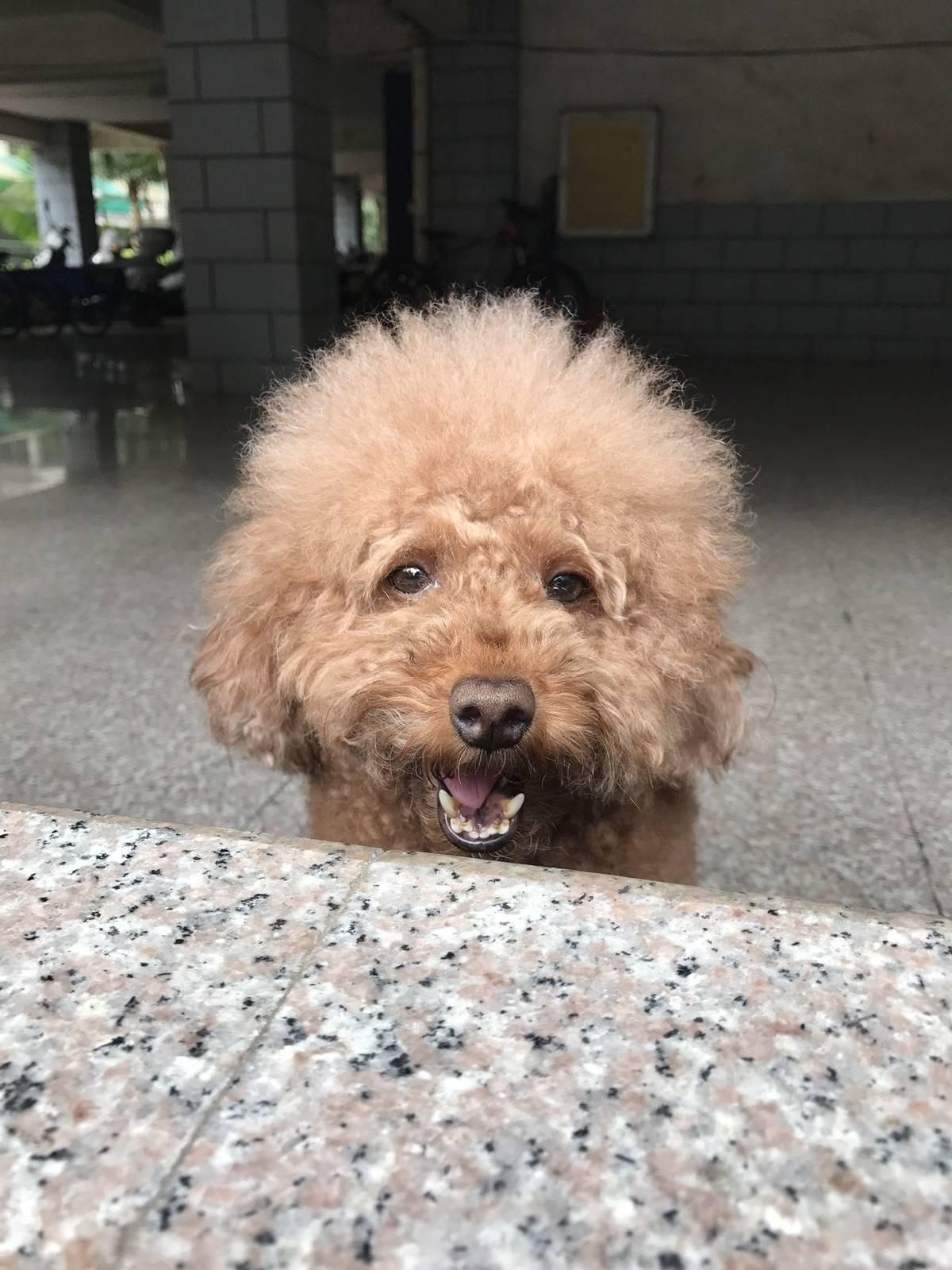 贵宾狗狗很乖,绝不咬人