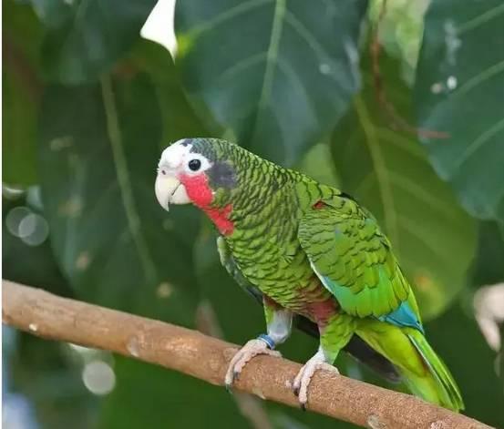 古巴亚马逊是濒临绝种的亚马逊鹦鹉,与牠血缘相近亚种约有4种,都是一级保育的种类,原生种已不多见,其他亚种 在人工饲养数目上更是稀少,牠们有别于其他常见亚马逊的气息与外表