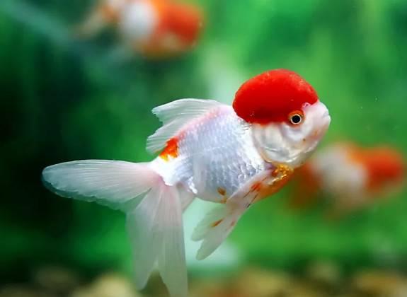 观赏鱼常见的不正常的表现