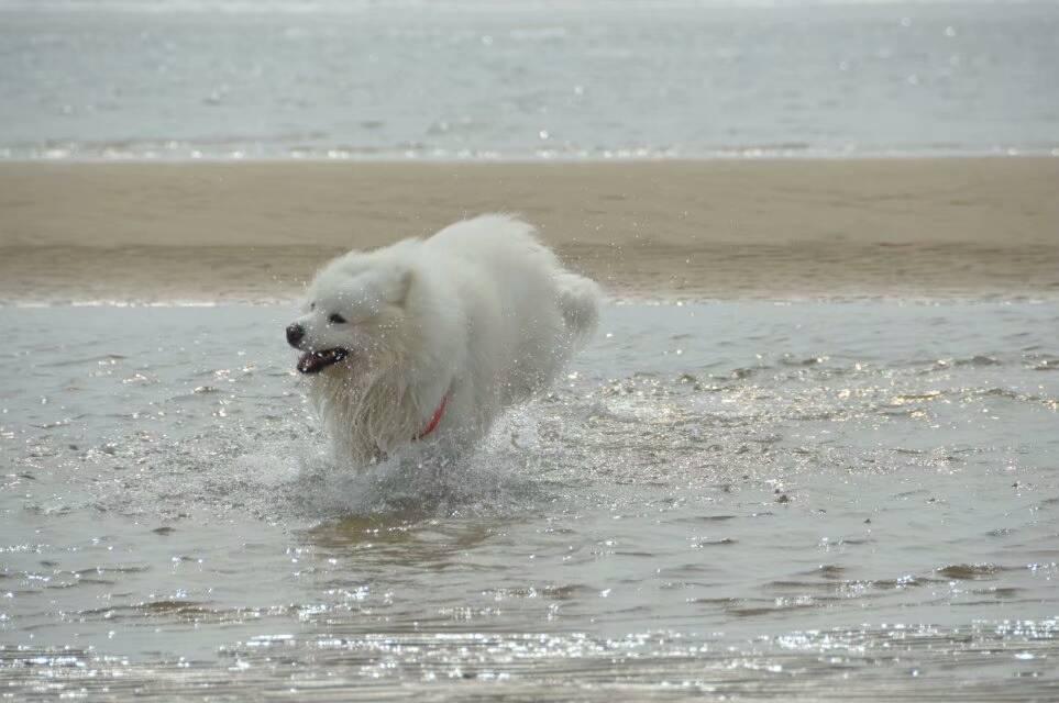 萨摩耶水中的千姿百态