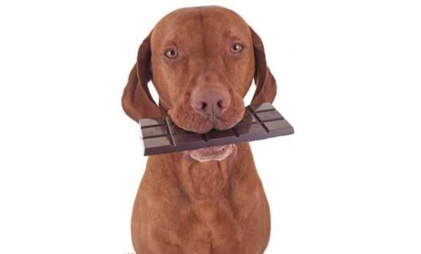 狗能吃巧克力吗