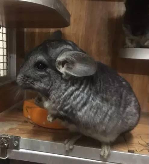 标灰色龙猫,丝绒黑两个都1岁,合笼:2019-1月25号合笼成功,乖巧听话