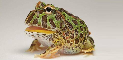 角蛙吃什么?角蛙饲料(食物)介绍