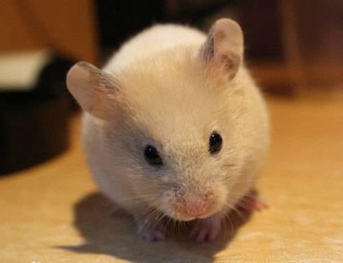 金丝熊吃什么?黄金仓鼠怎么喂养?