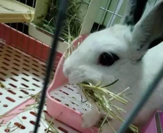 春天兔子假孕怎么办,拔毛又衔草是怎么回事?